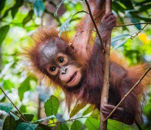 www.penelopedunlop.com - survival of the orangutan aka old man of the forest